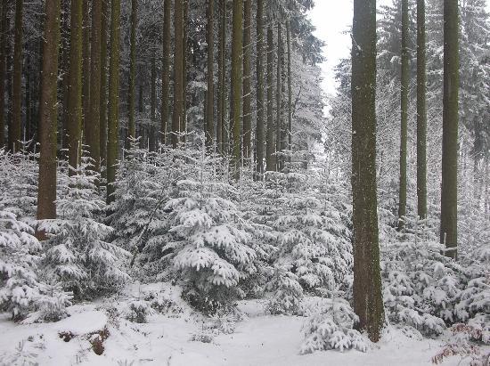 Gossau, Schweiz: Verschneite Tannen am Wegesrand