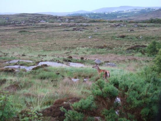 Donegal Town, Ireland: Red Deer