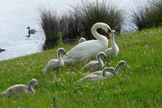 ‪ברטון אפון טרנט, UK: Swan family at Barton Turns Marina