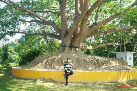 Chittagong City, Bangladesh: 200 years old tree...