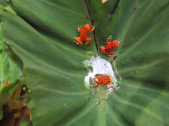 Garden of Eden Inn : poison dart frogs at Red Frog Beach