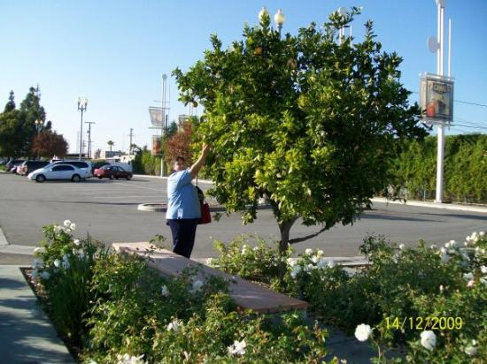 The oranges were free for the pickins. At the train stop in Rialto California