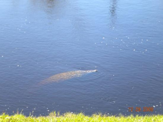 Fort Myers, FL: Manatee at Manatee Park in Ft Myers