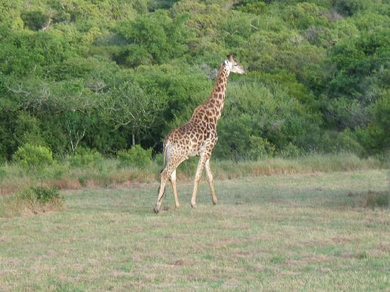 Bayala Game Lodge: Giraffe devant l'hotel