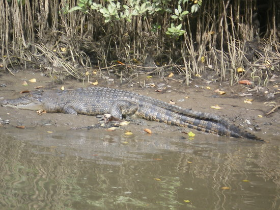 Daintree Wonder Tours: Croc on Daintree river