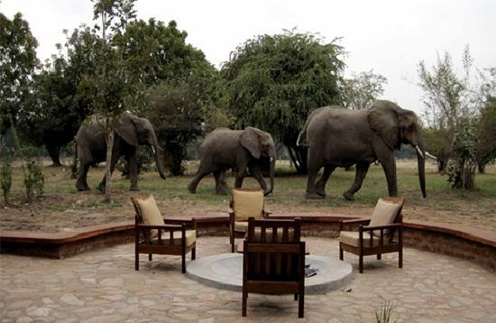 Thornicroft Lodge: Elephants passing through the camp