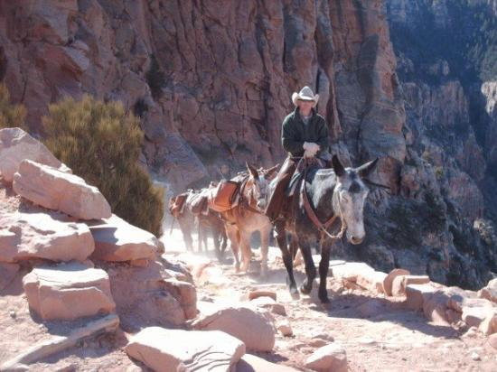 Grand Canyon Mule Tours by Xanterra Image