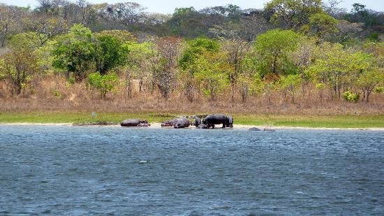 Lifupa Conservation Lodge : Flusspferde am Lifupa See