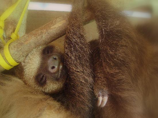Playa Bluff Lodge : the orphaned baby sloth, cared for bij Reinier, helene and their kids