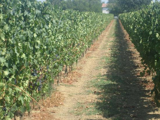 Agriturismo Trere: A view of the vines in the vineyard