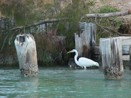 Rotonda West, FL: Great Egret