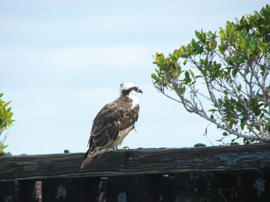 Rotonda West, Φλόριντα: Osprey