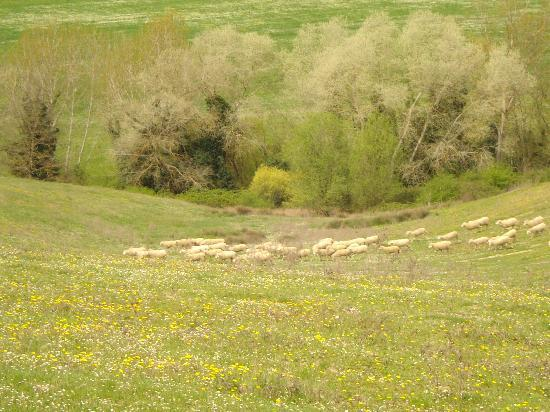 Agriturismo San Gallo: sheep in the pasture