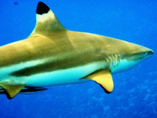Sofitel Bora Bora Marara Beach Resort : shark feeding tour