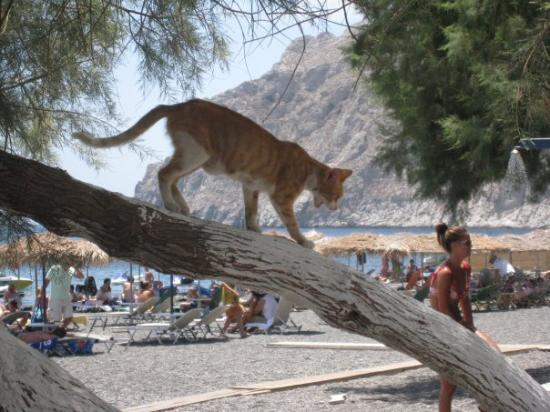 ‪كماراي, اليونان: Kamari beach, pussycat looking for birdies‬