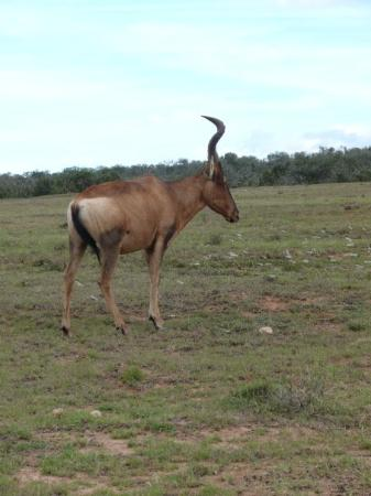 Addo, South Africa: Red Hartebeast