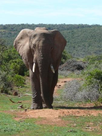 Addo, Sudáfrica: Male Ele not wise to block his path this was taken very quickly!
