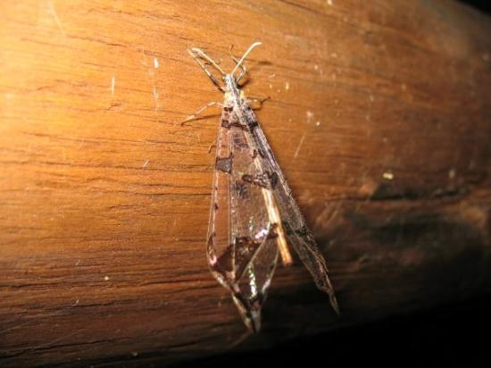 Addo, Südafrika: See through moth