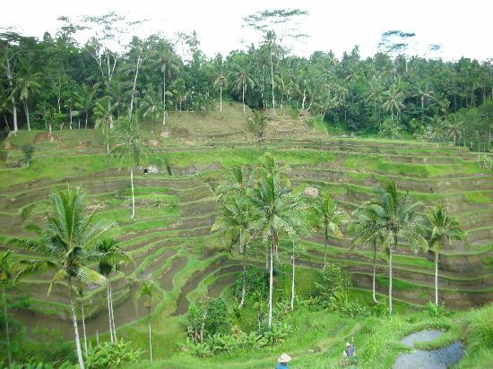 Tegalalang Rice Terrace: 遠くのヤシの木が小さく見え、写真より壮大です