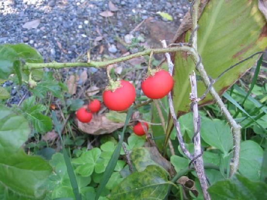 Meisho Niemonjima: 金銀針茄子の実