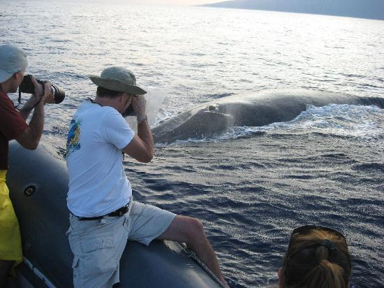 Hawaii Ocean Rafting : Whale by Boat