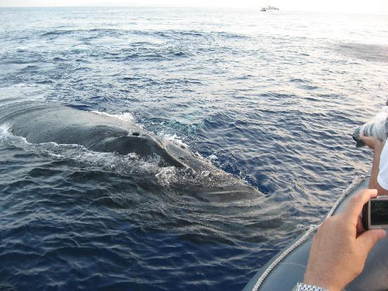 Hawaii Ocean Rafting : Another whale by the boat