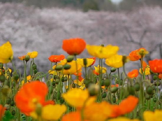 Tachikawa, Japon : 春の昭和記念公園②