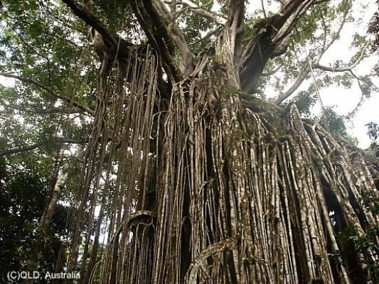 Atherton, Australien: Rainforest, Curtain Fig Tree