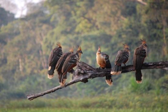 Puerto Maldonado, Peru: huatsin (aka stinky birds)