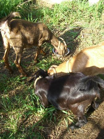 Hawaii Island Retreat at Ahu Pohaku Ho`omaluhia: Early morning fun milking the goats ;-)