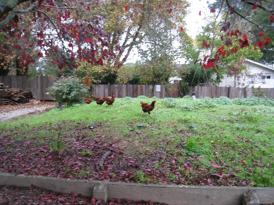 Bear Valley Inn: Chickens!