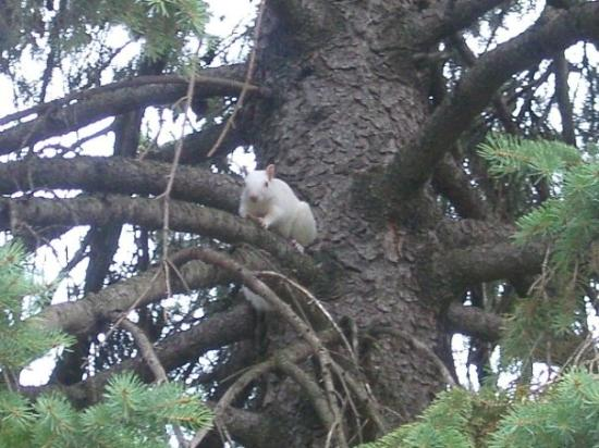 Brooklyn Center, MN: Albino Squirrel