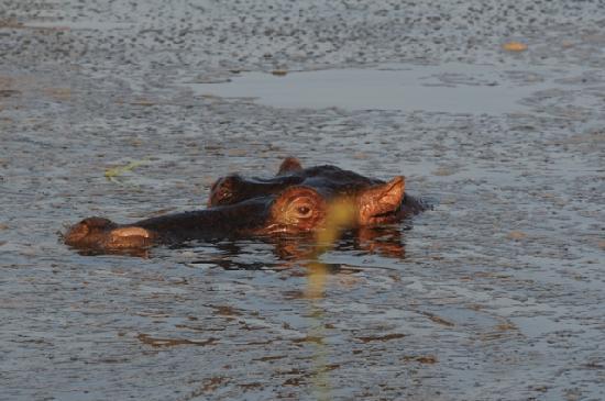 Londolozi Varty Camp: hippos
