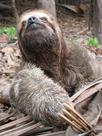 Manaus, AM: Brazil - Amazon - sloth