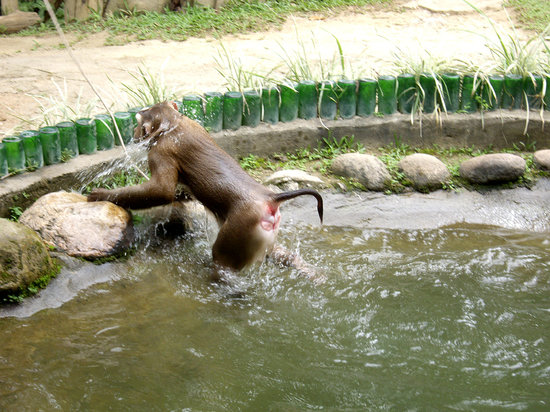 Chiang Mai Monkey Centre : Monkey does back-flips into water for your entertainment.