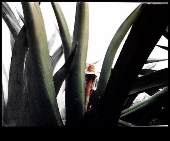 """Tlaxcala, México: """"aguamiel"""" ( pachuca, hidalgo)"""