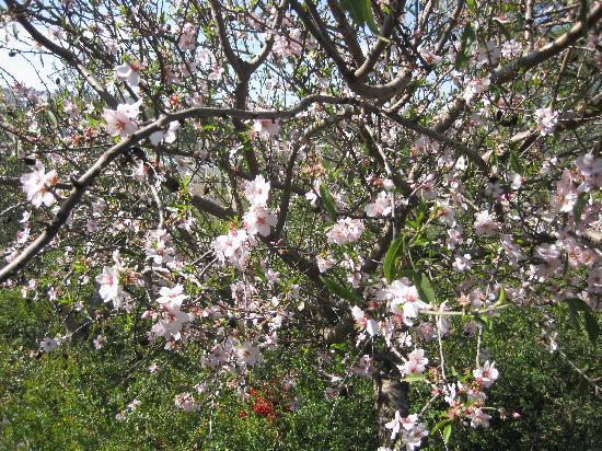 Dan Boutique Jerusalem: Almond tree in Jerusalem