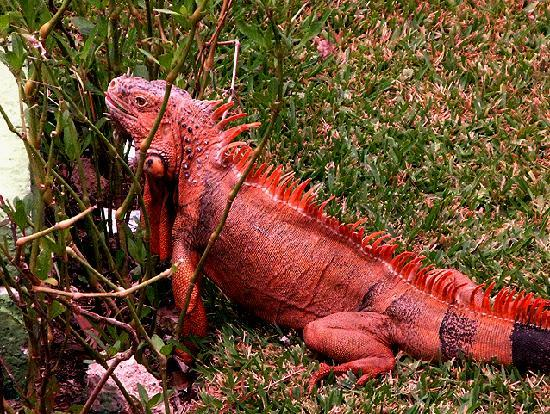 Allegro Cozumel: A rare orange iguana having lunch outside our room