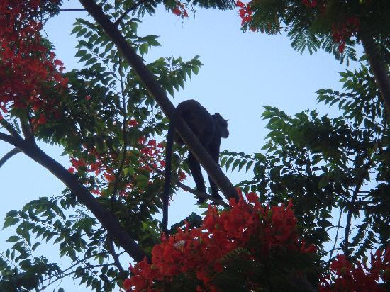 Leopard Beach Resort & Spa : singe dans les flamboyants