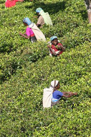Freedom Lodge: Enroute to Hikkaduwa via the tea plantation