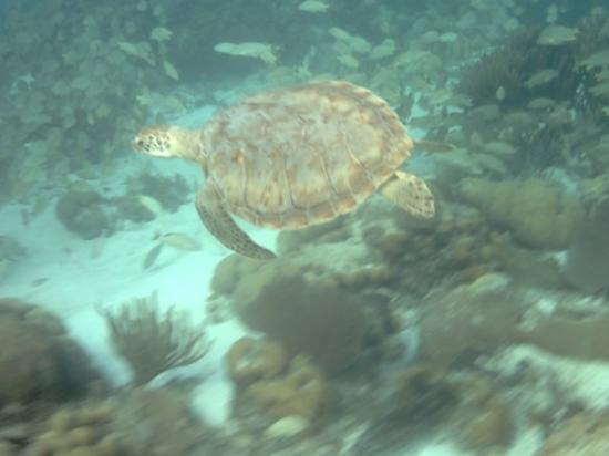 Ambergris Caye, Belize: Sea turtles don't seem to mind sharing their area with te visitors.