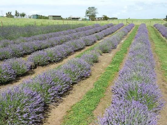 Alphra Lavenders: Loads of Lavender