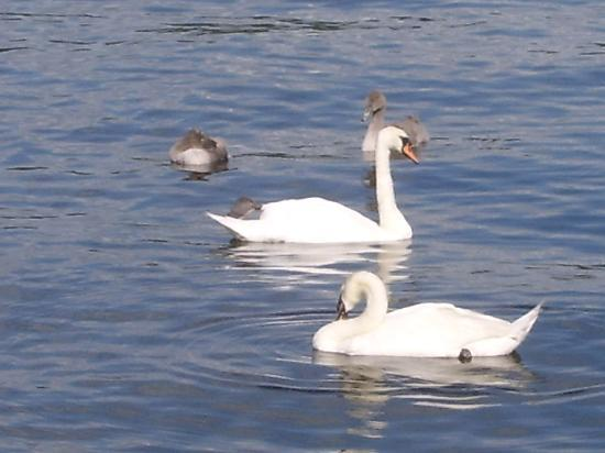 Loch Lomond and The Trossachs National Park, UK: Swans 0n Lomond