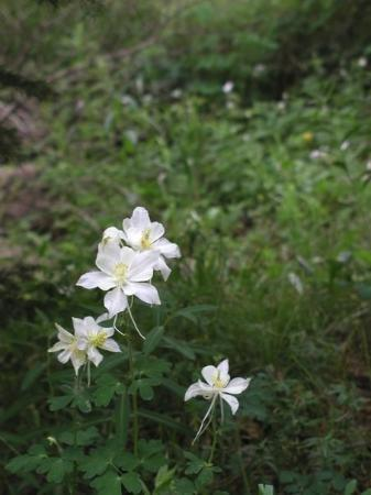 Grand Junction, CO: White Columbine, Grand Mesa