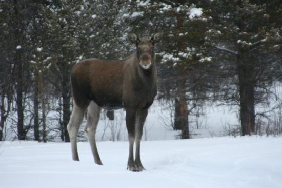 Luleå, Sverige: The first - and best- picture of a moose while on our moose safari.