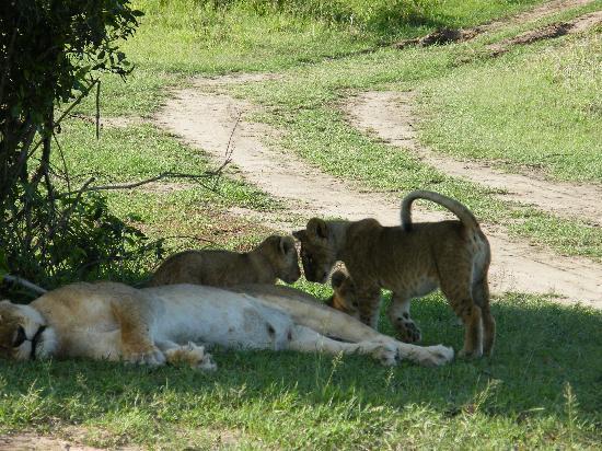 Masai Mara naturreservat, Kenya: mum & cubs