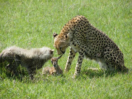 Masai Mara naturreservat, Kenya: about to chase & kill