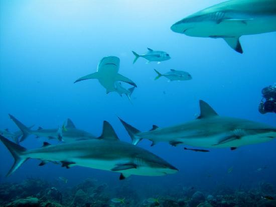 Roatan Shark Dive: Photos I took on shark dive.