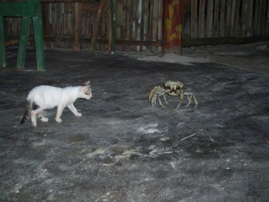 Big Corn Island, นิการากัว: for fun they fight little kittens with massive kitten killing crabs.... great fun to watch!!!