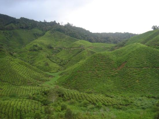 Tanah Rata, Malaisie : Tea Plantations @ Cameron Highlands